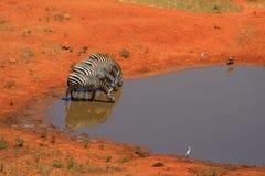 4 zebra bij een waterhole Stock Foto