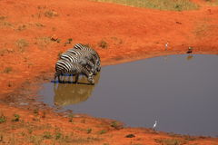4 Zebra at a waterhole Stock Photo