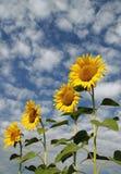 4 zonnebloemen Royalty-vrije Stock Afbeeldingen