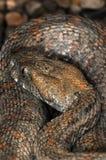 40 wąż Zdjęcie Royalty Free
