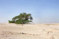 400 år för tree för bahrain livstidsmesquite gammala Fotografering för Bildbyråer