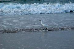 鸟捕鱼海浪 库存照片