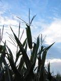4077威严的玉米 免版税图库摄影