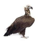 42 czarny eurasian sępa rok Zdjęcia Royalty Free