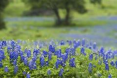 43 Bluebonnets & árvore Fotografia de Stock