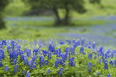 43 Bluebonnets & Tree stock photography