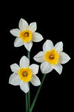 4408 daffodils Стоковое Фото
