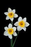 4408 daffodils Στοκ Εικόνες