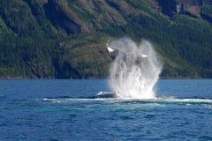 4479a humpback dźwignięcia ogon Obrazy Stock