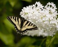 461 vlinder Swallowtail op Sering Stock Afbeeldingen