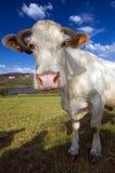 4611母牛 免版税库存图片