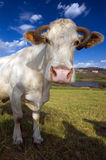 4611 cow Stock Image