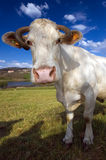4611 cow Royalty Free Stock Image