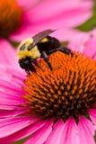 μέλισσα 4674 coneflower Στοκ Εικόνες
