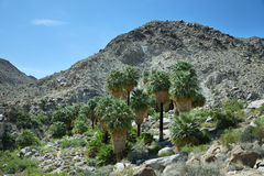 Free 49 Palms Oasis In Joshua Tree National Park Royalty Free Stock Photography - 75762427
