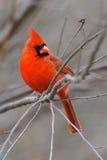 4b kardynał Obrazy Royalty Free