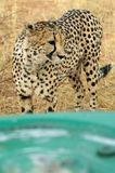 4x4 and cheetah. Cheetah in front of a engine bonnet Stock Image