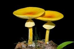 5个伞形毒蕈caesareaoides蘑菇 免版税库存照片