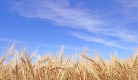 5个域黑麦 免版税库存照片
