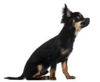 5个奇瓦瓦狗月小狗开会 免版税库存照片