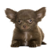 5个奇瓦瓦狗月小狗 免版税库存图片