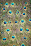 5个孔雀尾标 图库摄影