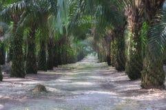 5个庄园油棕榈树系列 免版税图库摄影