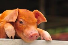 5个棕色小猪系列 免版税库存图片