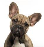 5个牛头犬接近的法国月小狗 免版税库存图片