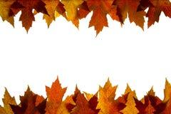 5个由后面照的颜色下跌混合的叶子槭& 免版税库存图片