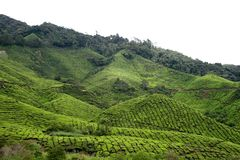 5个种植园茶 免版税库存照片