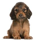 5个达克斯猎犬老小狗坐的星期 库存照片