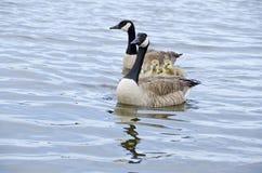 5只加拿大系列鹅河 库存图片