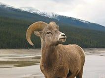 5只大角野绵羊 免版税库存照片