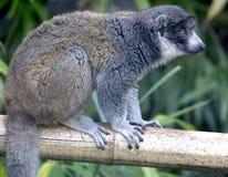 5只狐猴猫鼬 免版税图库摄影