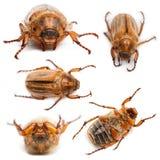 5只甲虫金龟子欧洲6月夏天 库存图片