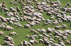 5只绿色牧群草甸绵羊 库存照片