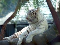 5只老虎白色 免版税库存图片