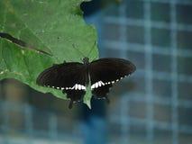 5只蝴蝶异乎寻常的海岛普吉岛泰国 免版税图库摄影