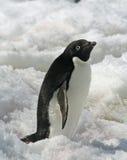 5只阿德力企鹅企鹅 免版税库存图片