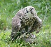 5只鸟狩猎 免版税库存照片
