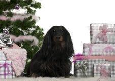 5圣诞节达克斯猎犬老坐的年 免版税库存图片