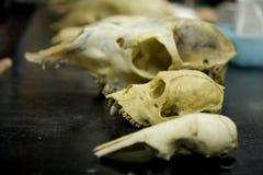 5块动物头骨 免版税图库摄影