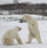 5头熊与极性战斗 库存照片