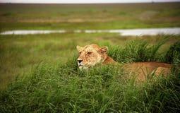 5头狮子监视 库存图片