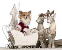 5奇瓦瓦狗圣诞节老雪橇年 免版税图库摄影