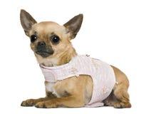 5奇瓦瓦狗穿戴的老年 免版税图库摄影