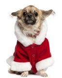 5奇瓦瓦狗老成套装备圣诞老人佩带的& 库存照片