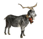 5山羊老徘徊年 免版税库存照片