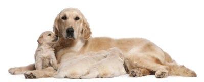 5护理老猎犬岁月的金黄母亲 图库摄影